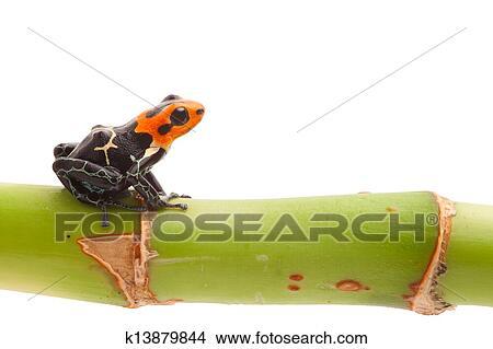 stock foto vergiften pfeil frosch freigestellt k13879844 suche stockbilder wandbilder. Black Bedroom Furniture Sets. Home Design Ideas