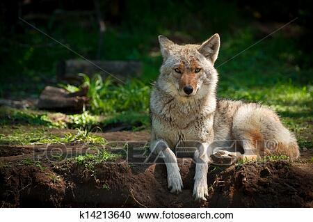 banques de photographies am ricain nord coyote canis latrans k14213640 recherchez des. Black Bedroom Furniture Sets. Home Design Ideas