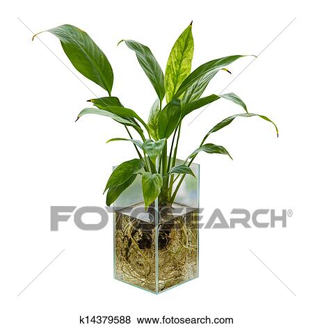 Peace Lily Clip Art Pictures of Spa...