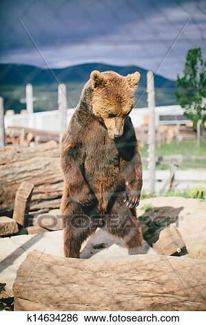 Stock Images of grizzly bear standing k14634286 - Search ...