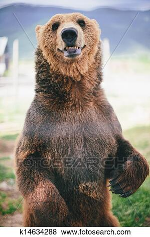 Pictures of grizzly bear standing k14634288 - Search Stock ...
