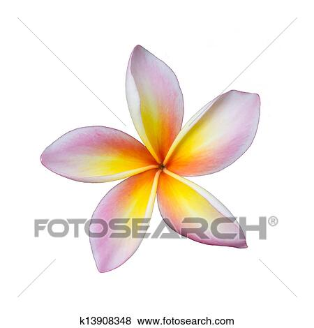 Pictures of pink frangipani plumeria flower k13908348 search stock pink frangipani plumeria flower mightylinksfo Choice Image