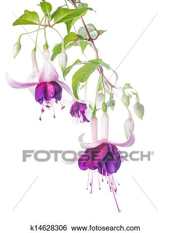 Stock images of violet and pink fuchsia flower with bud isolated on stock image violet and pink fuchsia flower with bud isolated on white background tamara mightylinksfo Choice Image