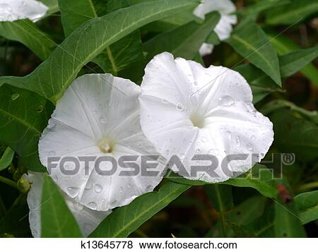Pictures of white morning glory flowers k13645778 search stock white morning glory flowers mightylinksfo Images