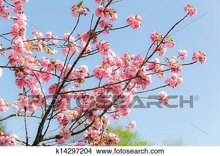 stock foto japanische kirschen sakura bl te mit rosa bl ten auf dass baum auf. Black Bedroom Furniture Sets. Home Design Ideas