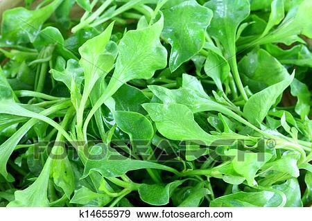 кресс-салат широколистный с фото