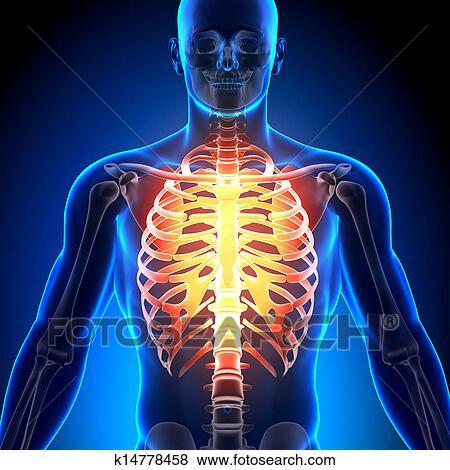 banque d 39 illustrations cage c te sternum anatomie os k14778458 recherche de clip. Black Bedroom Furniture Sets. Home Design Ideas