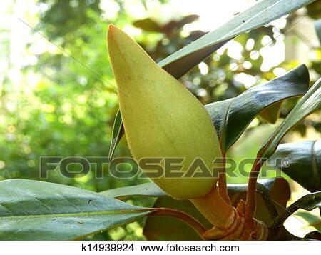 Archivio fotografico magnolia grandiflora k14939924 for Magnolia pianta prezzi