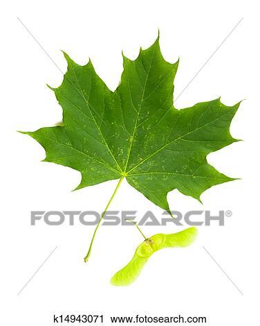 stock fotografie ahornbaum acer platanoides blatt mit frucht samara k14943071. Black Bedroom Furniture Sets. Home Design Ideas