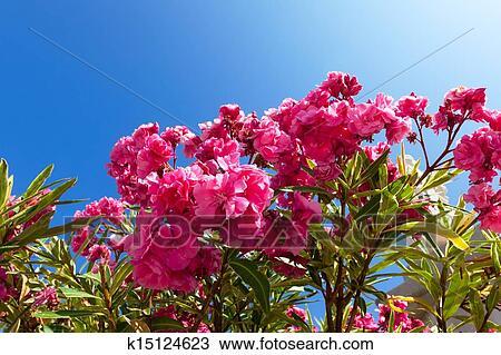 stock foto sch n busch rosa bl ten mit blauer himmel hintergrund k15124623 suche stock. Black Bedroom Furniture Sets. Home Design Ideas