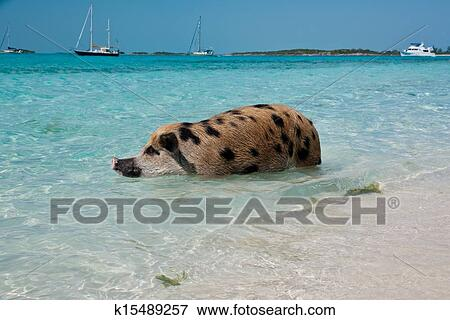 图片- 游泳, 岛, 猪图片