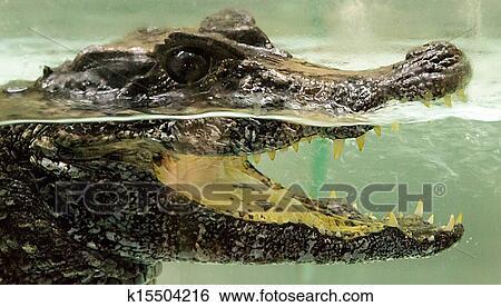 图片银行 - 鳄鱼, 在水下图片