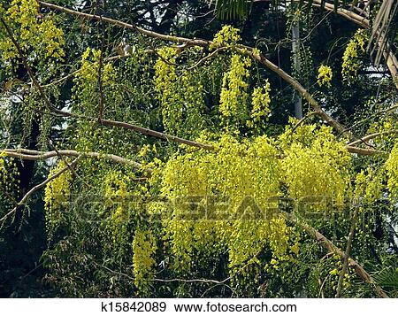 Curry Leaf Plant Locally Called Asari Murraya Koenigii Blooms Atop With Five Petal White Flowers The Is Extensively Used For Flavor In Indian