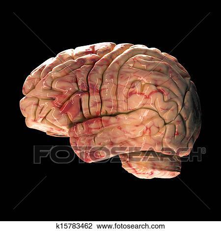 Side View Anatomy Anatomy Brain Side View on