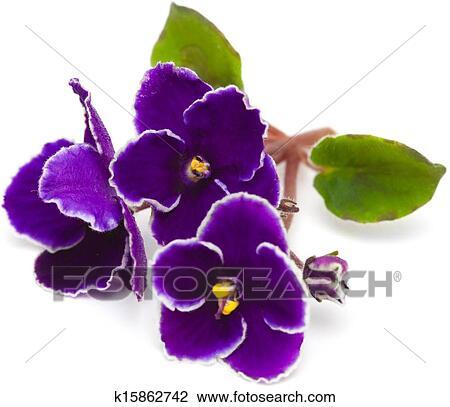Banque de photo violette africaine k15862742 for Violette africane