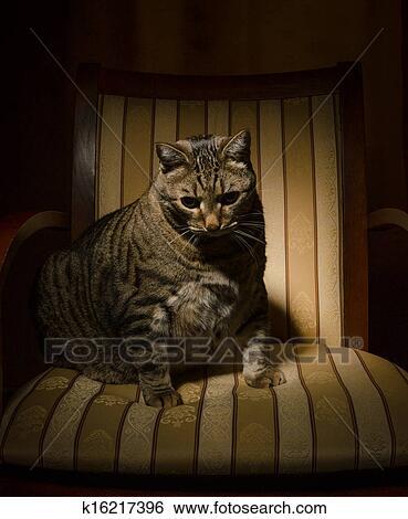 banque d 39 images grand chat sur chaise k16217396 recherchez des photos des images des. Black Bedroom Furniture Sets. Home Design Ideas