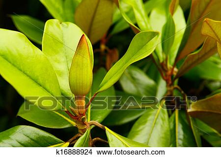 Archivio fotografico magnolia grandiflora for Magnolia pianta prezzi