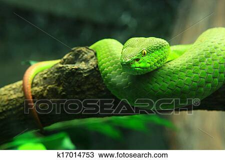 Archivio fotografico serpente verde k17014753 cerca for Serpente nero italiano