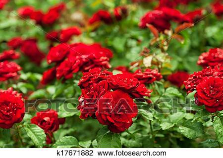红的玫瑰花, 花园