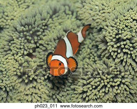 Stock Photography of Clownfish (AmphiNRion ocellaris) and ...