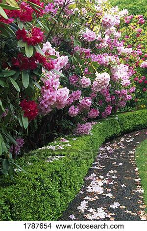 Japanese Garden Path With Rhododendron Flowers In Bloom
