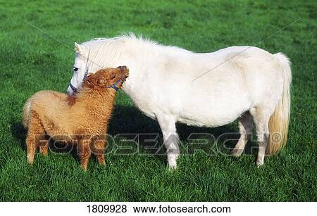 bilder shetland pony und fohlen 1809928 suche stockfotos bilder print fotos und foto. Black Bedroom Furniture Sets. Home Design Ideas