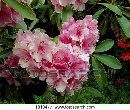 Immagine rosa rododendro cuore 1810477 cerca archivi - Rododendro prezzo ...