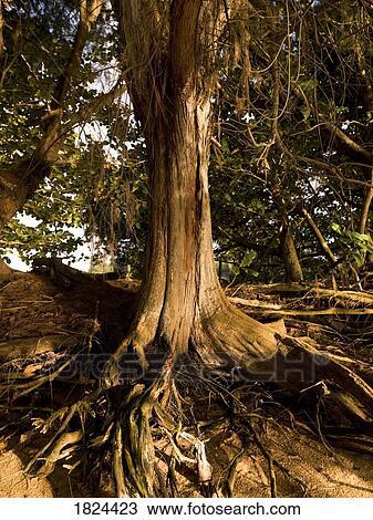 banque de photo arbre racines 1824423 recherchez des images des photographies et des. Black Bedroom Furniture Sets. Home Design Ideas