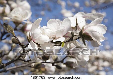 Archivio fotografico loebner albero magnolia fiore for Magnolia pianta prezzi
