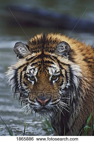 Free vector graphic tiger predator cat big cat free image on - Stock Images Of Portrait Of Wet Siberian Tiger 1865886