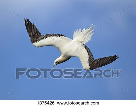Diving red footed booby