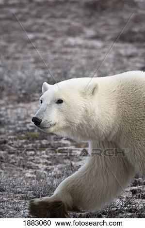 免图片(rf)类炮弹-北极熊,walking;,churchill,manitoba,加拿大海盗来了打版税的章鱼图片