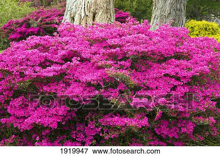 Bright Pink Flowers Growing At The Base Of A Tree In Muckross Gardens Killarney County Kerry Ireland