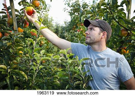 A Man Picks An Apple From Tree Nooksack Washington United States Of America