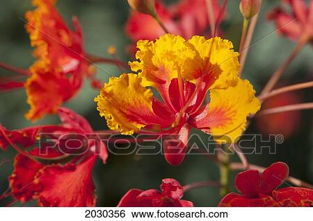 Stock images of close up of mexican bird of paradise caesalpinia close up of mexican bird of paradise caesalpinia pulcherrima flowers palm springs california united states of america mightylinksfo Images