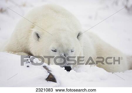 banque de photo ours blanc ursus maritimus dormir dans les snow churchill manitoba. Black Bedroom Furniture Sets. Home Design Ideas