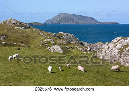 Stock images of sheep grazing in a grassy field on lambs headcounty sheep grazing in a grassy field on lambs headcounty kerry ireland voltagebd Images