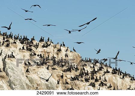 a Large Flock of Black Birds