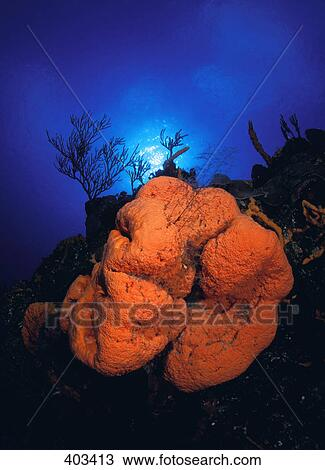Stock Photo of Orange Elephant Ear Sponge 403413 - Search ...