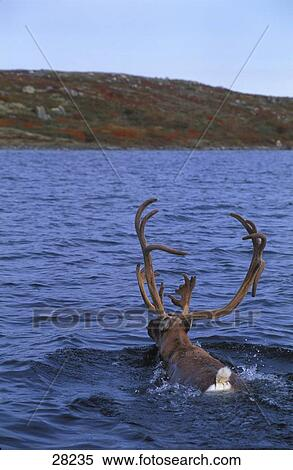 Archivio immagini carib nuoto attraverso lago 28235 for Cabine di cresta antler