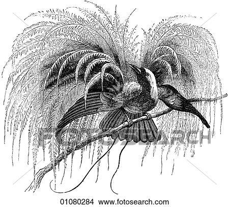 Bird of paradise animal drawing - photo#6