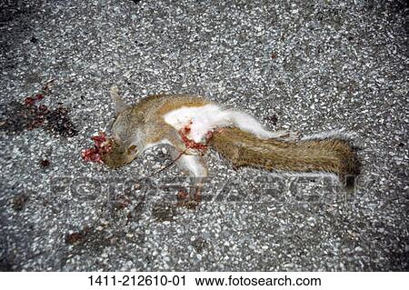 Stock Photography Of Dead Squirrel On Road 1411 212610 01