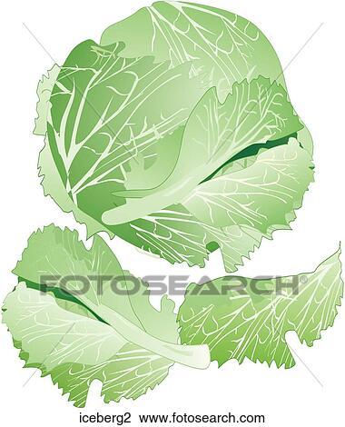 iceberg lettuce iceberg2 foodshapes illustrations photograph royalty    Iceberg Lettuce Drawing