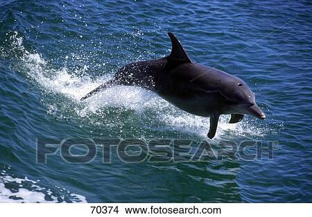 Stock Photo of Short-beaked Common Dolphin (Delphinus ...
