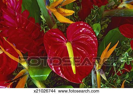 Archivio fotografico uccello del paradiso e rosso for Anthurium rosso