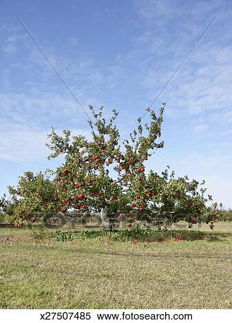 Stock image of apple tree in field x27507485 search for Apple tree mural