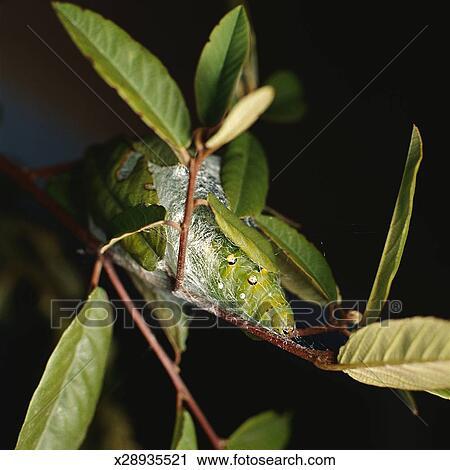 Banques de photographies mite soie larves x28935521 - Larve de mite ...
