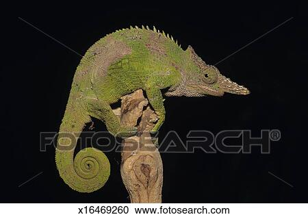 Stock photography of fischers chameleon chamaeleo fischeri close fischers chameleon chamaeleo fischeri close up thecheapjerseys Choice Image