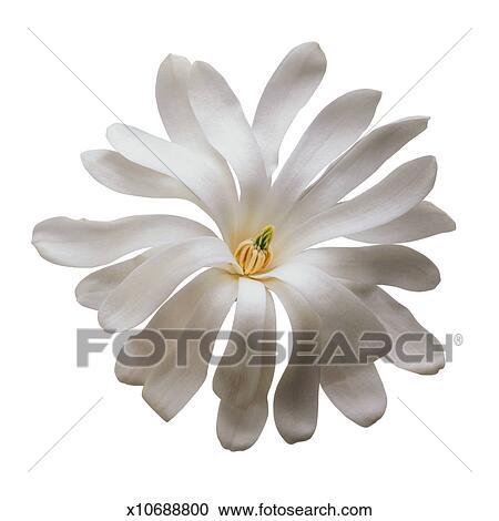 Archivio fotografico stella magnolia primo piano for Magnolia pianta prezzi