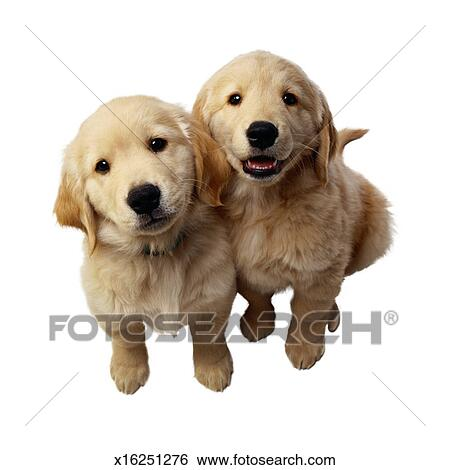 Stock Images of Golden Retriever Puppies x16251276 - Search Stock Photography, Poster ...